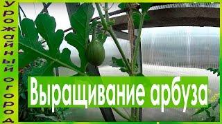 видео Выращивание арбузов