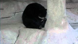 Bear self blowjob at Gladys Porter Zoo