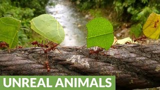 Leafcutter ants cross bridge in Amazon rainforest of Ecuador