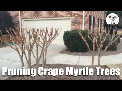 How To Properly Prune Crape Myrtle Trees Planted In Small