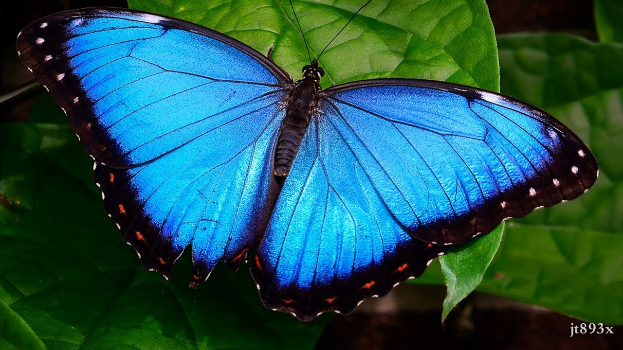 Blue Morpho Butterfly Facts - Blue Morpho Butterfly -4525