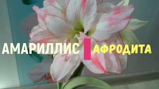 Амариллис Афродита