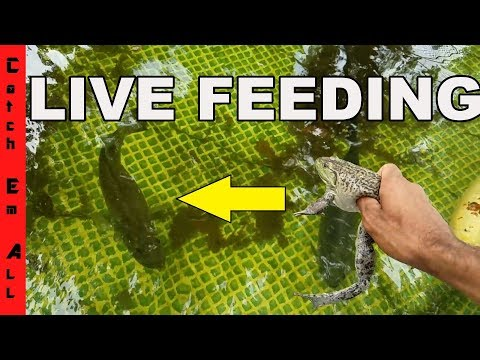 Thumbnail: FEEDING PET BASS LIVE BULL FROG and Live Eel in Amazing Homemade Pool Pond