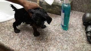 Yorkshireterrierstud.com Yogi First Bath -  Akc Yorkshire Terrier Male Yorkie Stud Service!