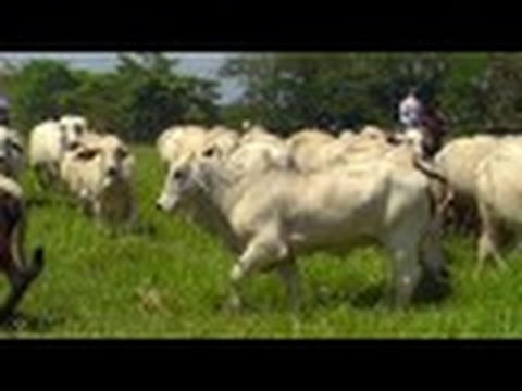 How to Breed Braford Cattle - TvAgro por Juan Gonzalo Angel