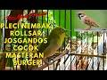 Kicau Burung Pleci Masteran Burung Gereja  Mp3 - Mp4 Download