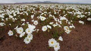 News Update Chile's Atacama desert: World's driest place in bloom after surprise rain 23/08/17