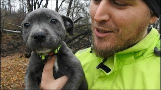 8 week old Blue Staff Puppy  First Time Outside! [Engstaff]