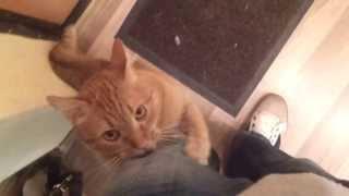 Ginger cat asks for a walk / Рыжий кот просится гулять