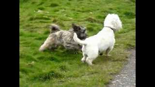 Lhasa Apso And West Highland Terrier - Dog Fight!