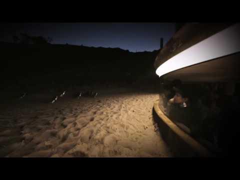 Penguins - Phillip Island