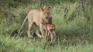 Необычная дружба львицы и теленка