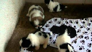 Black And White Shih Tzu Pups - Chibisuke