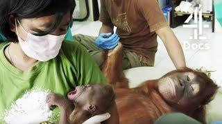Teenage Orangutan Rejects Her New Born Baby | Orangutan Jungle School
