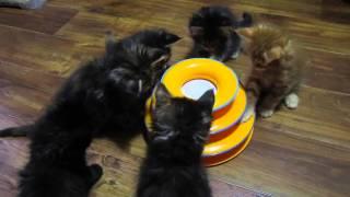 Котята мейн-кун 7 недель, питомник Main Stream Royal, г.Самара