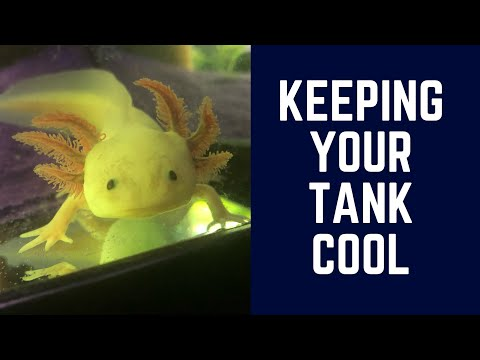 Axolotl Care- How to Keep Your Tank Cool