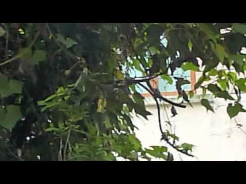 Spotted Dove courtship calls
