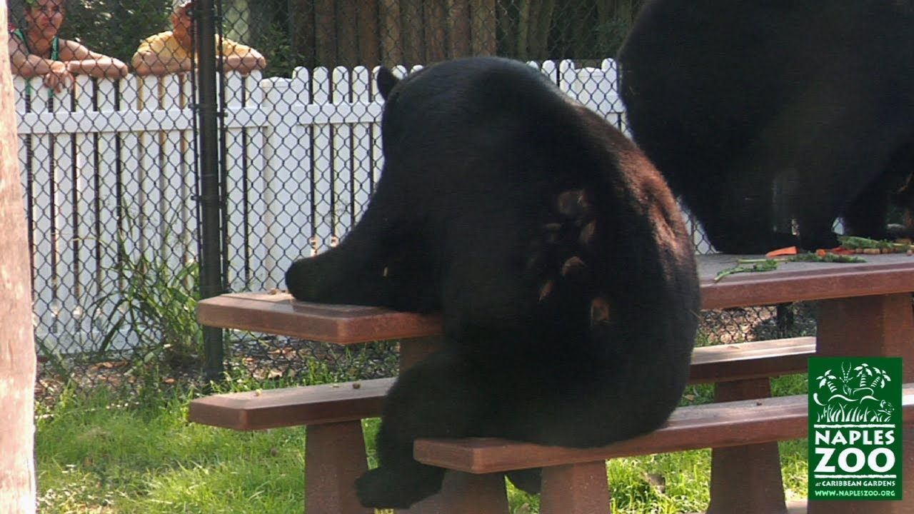 Merveilleux Funny Video Of Black Bear Sitting At Picnic Table Eating