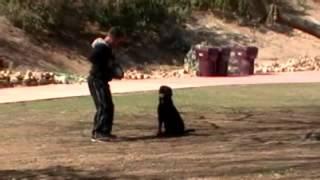 Marlo Vom Kazimov 23 Months Old Male Rottweiler For Sale