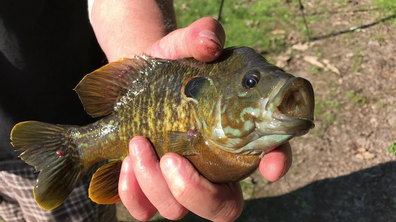 Hybrid bluegill fishing in a nasty pond youtube for Is fish good for dogs