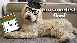 Testing My Dog's Intelligence  Floof Dog vs Stoopid Cats IQ Test