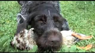 Дрессировка охотничьих собак легавые