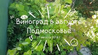 Виноград в августе - Подмосковье ТопСад. Трейлер.