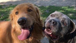 An Alpha Golden Retriever Tries to Take Over a Dog Park