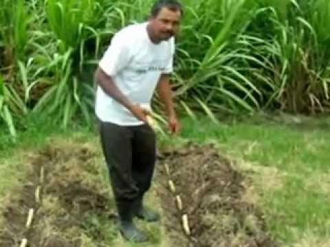Plantando cana caiana agropecuaria brasil marechal deodoro alagoas youtube - Como se planta el bambu ...