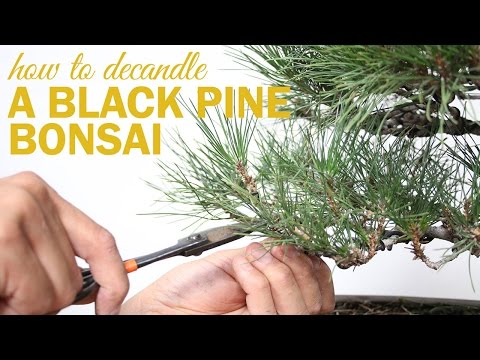 How to Prune and Decandle your Black Pine Bonsai