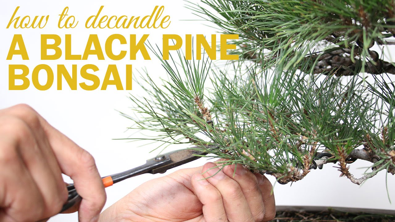 How To Prune And Decandle Your Black Pine Bonsai Youtube