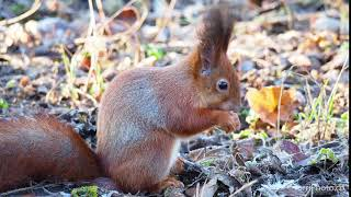 Cute red squirrel eating walnut in winter park. Eurasian red squirrel (Sciurus vulgaris)