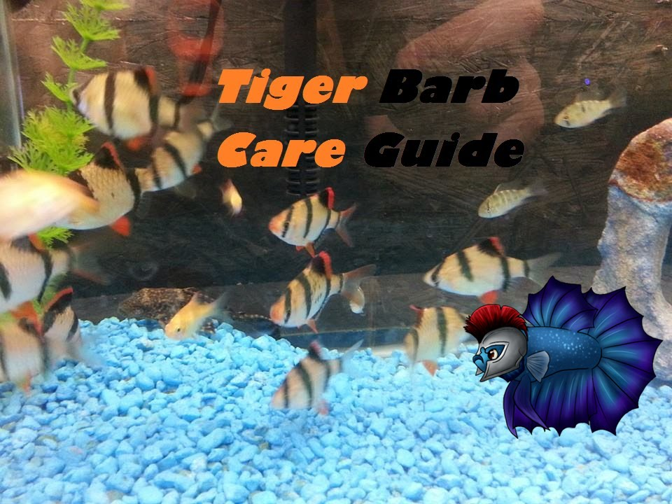 How To Tell If A Tiger Barb Is Pregnant | Aquascape Addiction