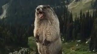 La vie secrète des Marmottes.