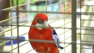 Все О Домашних Животных: Про Попугаев Розелл