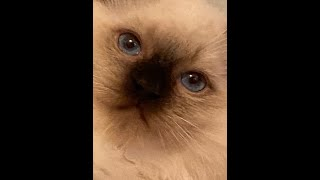 Seal Color Point Ragdoll Kitten Nicholas From 9 To 11 Weeks Of Age