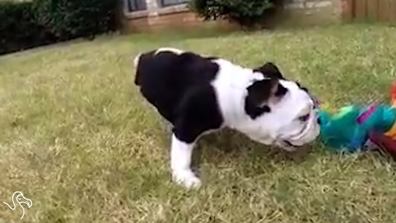 Meet Bonsai The Unstoppable Half A Bulldog Youtube