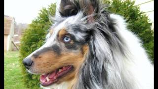 I love Shelties! :) 5 Thumbnail