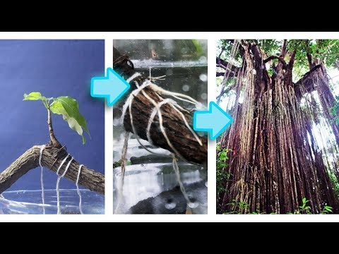 How to Grow Curtain Roots on Ficus, First Step to Curtain Fig, Bonsai Be the Creator, Oct. 2017