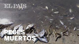 Miles de PECES MUERTOS aparecen en las costas de Murcia