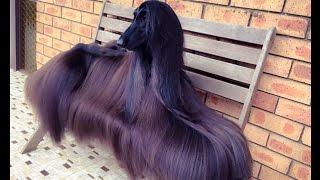 Dân tình đang phát sốt với nàng chó có bộ lông đẹp nhất thế giới