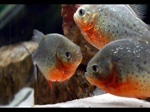 Download iN-dEPTH: Red Belly Piranha (Pygocentrus Nattereri)