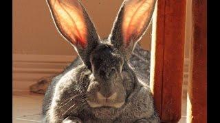 Вот это КРОЛИК ВЕЛИКАН вырос за 4 месяца!!!2016(Видео 2016 про кролика великана.Приятного просмотра! и Хорошего настроения! Смотрите также https://youtu.be/Me70kZlTc74..., 2016-12-09T23:37:32.000Z)