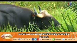 เรื่องเล่าเช้านี้ กระทิงป่าลงจากเขาแอบผสมพันธุ์วัวบ้านได้ลูกสายพันธุ์ใหม่ ที่ จ.ชุมพร (22 ม.ค.58)