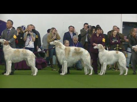 Borzoi Westminster dog show 2020