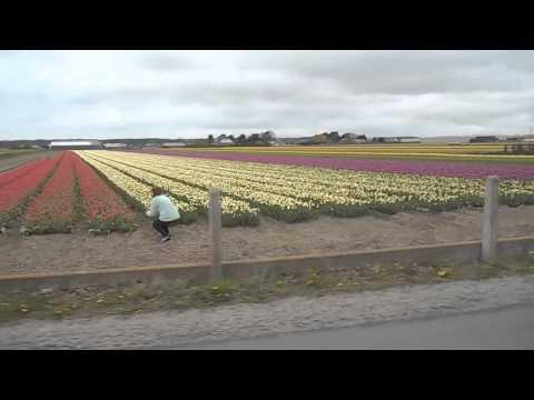 Tulip Fields - Noordwijk The Netherlands 2015