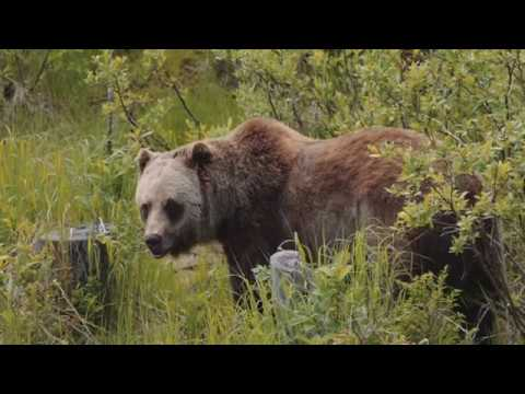 Discover Grizzly Bears Tour
