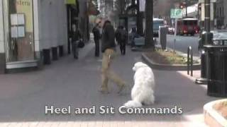 Great Pyrenees - Dog Training Charlotte Nc - The Dog Wizard