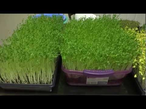 Pea Sprouts, Broccoli Sprouts, Sunflower Sprouts, Radish Sprouts, Fenugreek Sprouts/Microgreens