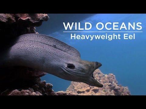 Weird Trumpetfish & An Eel Heavyweight